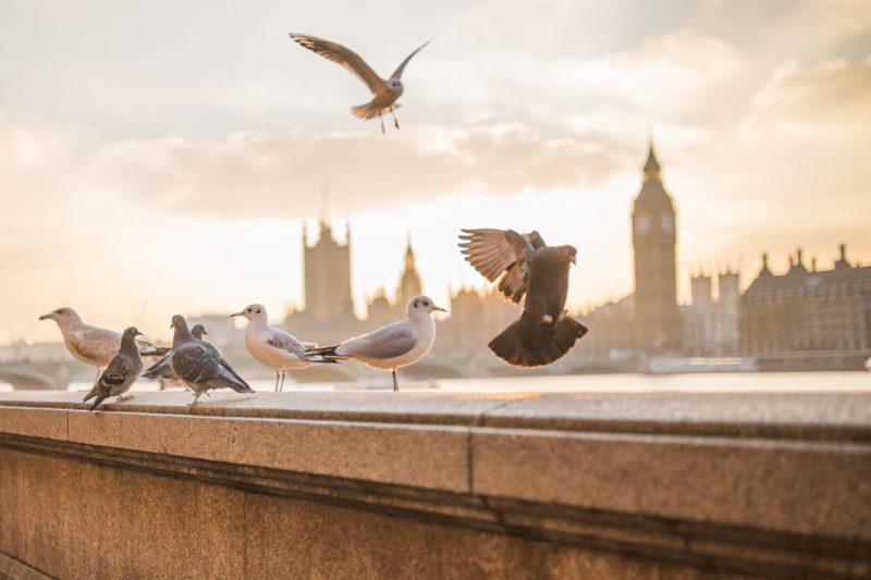 Londýn holubi a holubice